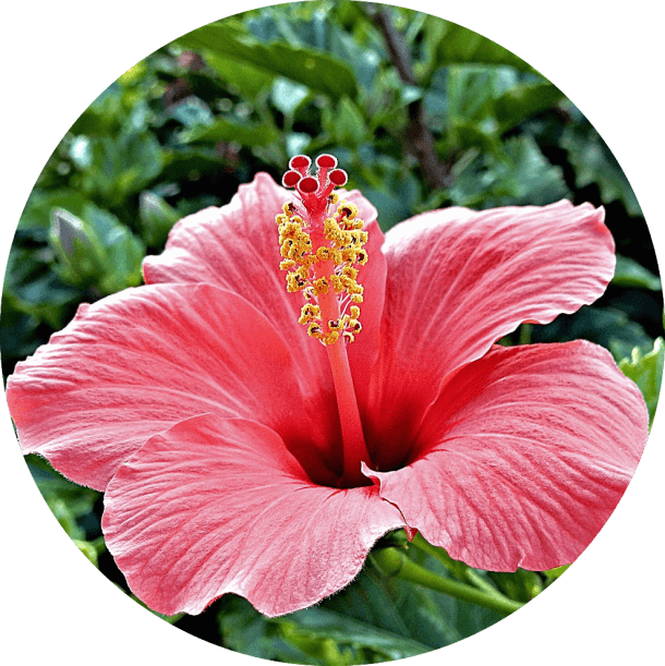 Pink-hibiscus-round